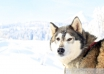 Video: Husky-Snowboarding